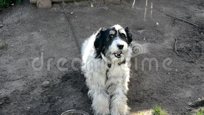Cachorro O cachorro se senta em uma corrente perto da cabine e latida O cachorro quer comer, deitado ao lado de uma tigela vazia  filme