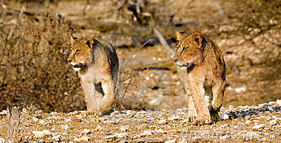 Cachorros de león en el vagabundeo