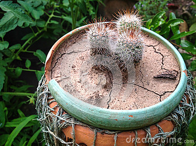 Cacti in pot