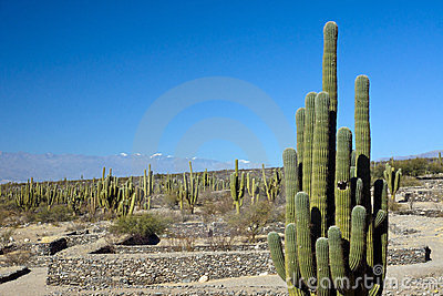 Cacti in the Quilmes ruins