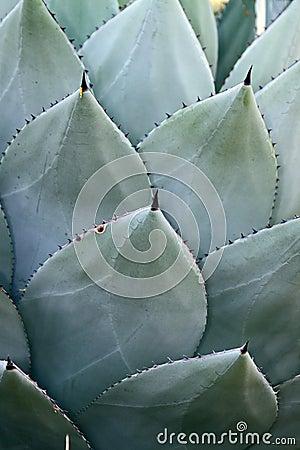 Free Cacti Spikes Stock Photo - 11760570