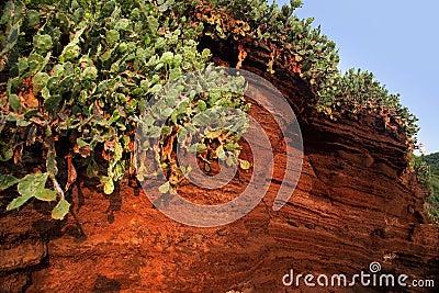 Cacti on the volcanic rocks