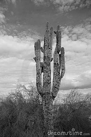 Free Cactus Royalty Free Stock Photography - 3315607
