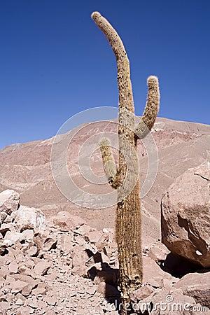 Free Cactus At Atacama Stock Photography - 20036472