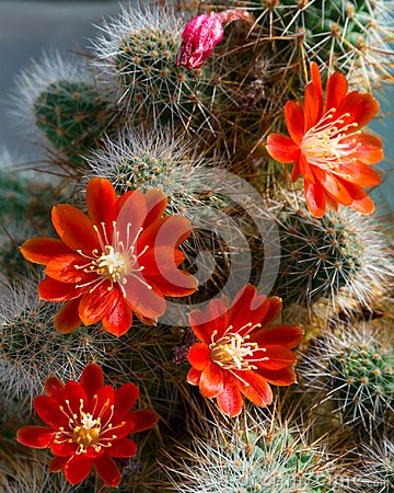 Free Cactus Aylostera With Red Flowers. Royalty Free Stock Photo - 106973865