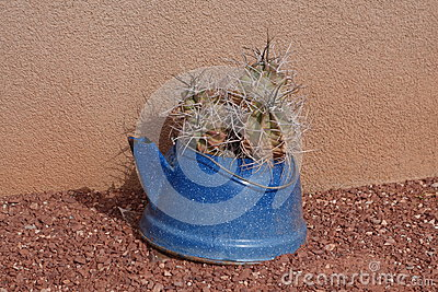 Cactus in a blue pot