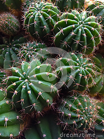 Cactus bush close up