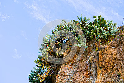 Cactus on a Cliff