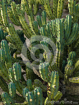 Free Cactus Close-up Royalty Free Stock Photo - 25439495