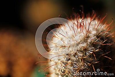 Cactus dell ugello di Escobaria con le spine dorsali lunghe e brevi