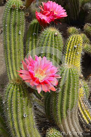Free Cactus Desert Plant With Blossoming Red Flowers Royalty Free Stock Images - 92032389