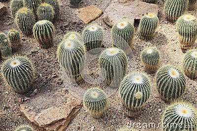 Cactus Echinopsis calochlora in green house