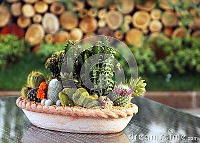Cactus family plants in pot