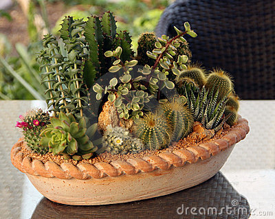 Cactus family plants in pot