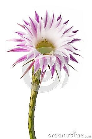 Free Cactus Flower Stock Photo - 22704150