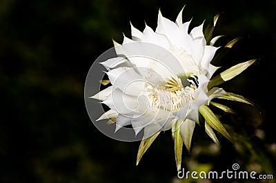 Cactus flower against dark background