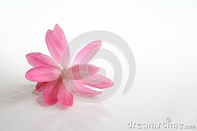 Cactus flower blossom on white