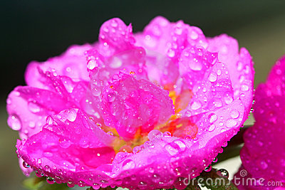 Cactus Flower Drenched in Water