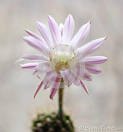 Cactus flower echinopsis