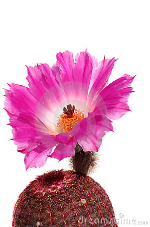 Free Cactus Flower Isolated On White Stock Photography - 11100932