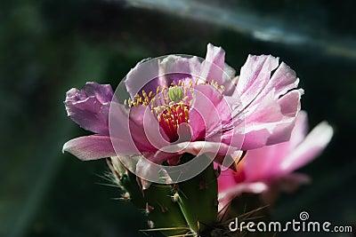 Cactus flower, Opuntia