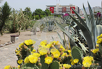 Cactus flowers in Konak square, Izmir