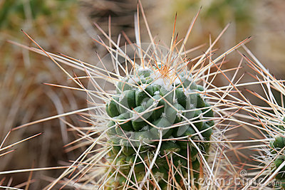 Cactus growth of long thorns Stock Photo