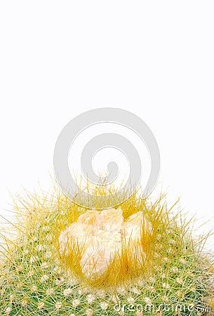 Cactus isolated.