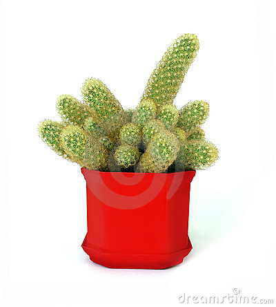 Cactus mamillaria