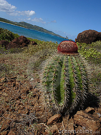 Cactus in Paradise Culebrita, Puerto Rico