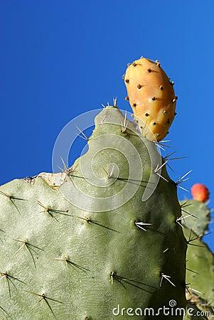 Cactus pear of sardinia