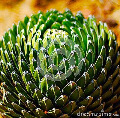 Free Cactus Plant.agava Stock Image - 41221771
