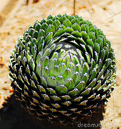 Free Cactus Plant.agava Royalty Free Stock Photos - 41221778