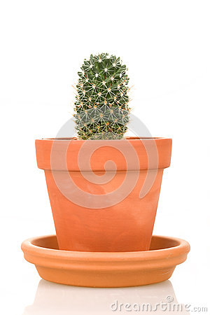Cactus plant in flower pot isolated on white