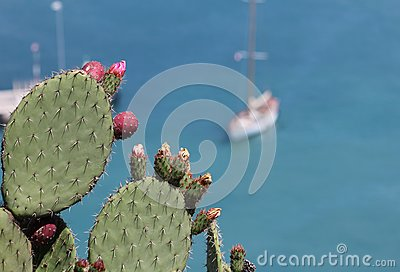 Cactus plant at the french riviera