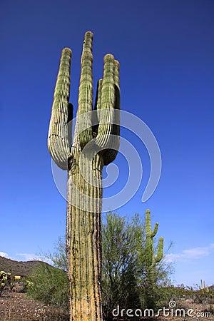 Cactus In Saguaro