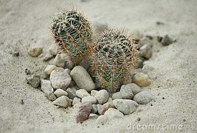 Cactus in the sand