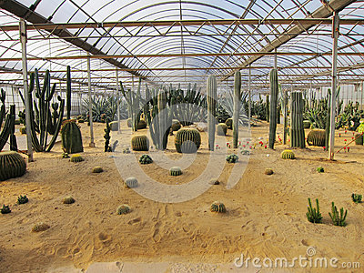 Cactus with sand in greenhouses