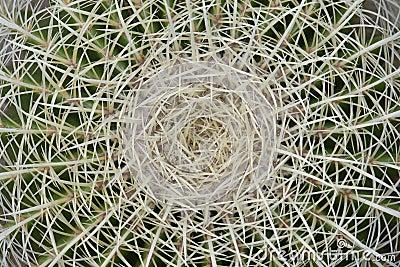 Cactus spine micro