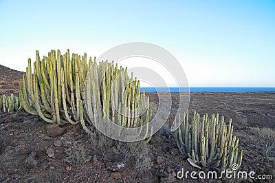 Cactus suculento de la planta en el seco