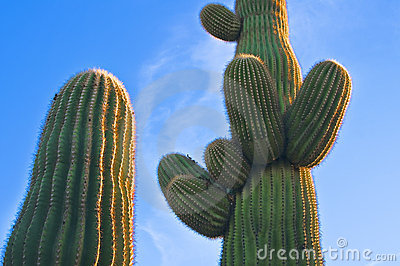 Cactus at Sunset, Arizona Desert