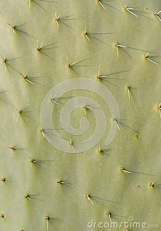 Free Cactus Texture Stock Photo - 28488270