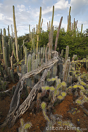 Cactus thicket including Candle Cactus