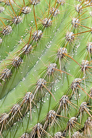 Cactus Thorns Detail