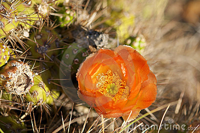Cactus in wildness in America
