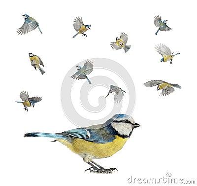 Caeruleus北美山雀