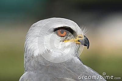 Caeruleus d Elanus de cerf-volant de Blackshouldered