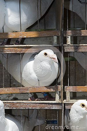 Cage with white pigeons