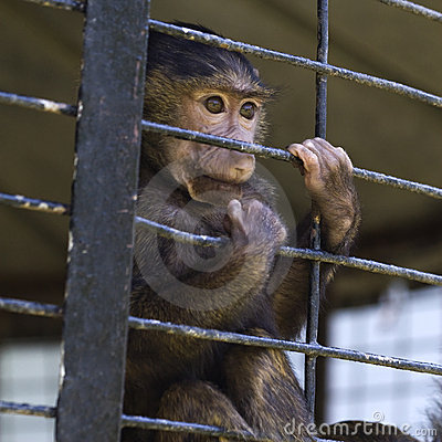 Caged baby baboon