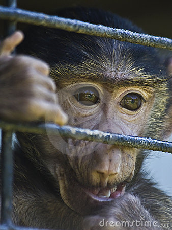 Free Caged Baby Baboon Royalty Free Stock Photo - 5211305